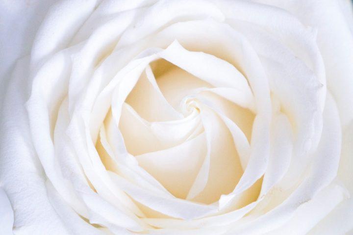 ズームアップされた美しい白バラ